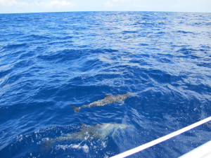 Dolphins came to play on the way to St Martin