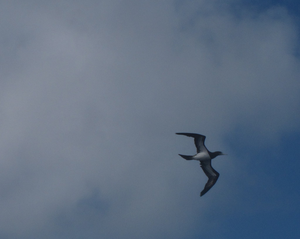 One of the many brown boobies accompanying us on our passage