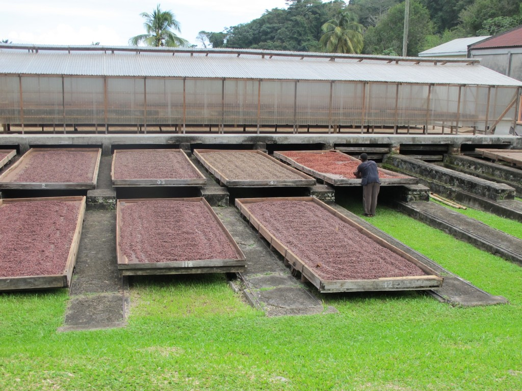After fermenting for 9 days, the cocoa beans are laid out to dry
