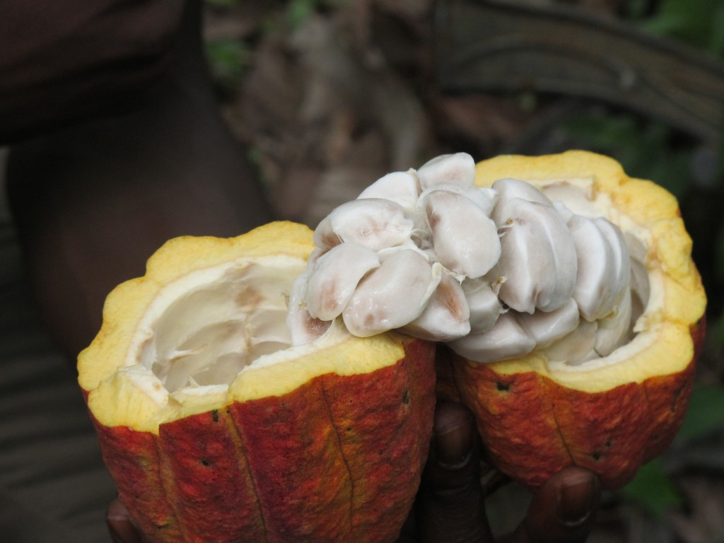 The raw cocoa beans, surrounded by mango-tasting pulp