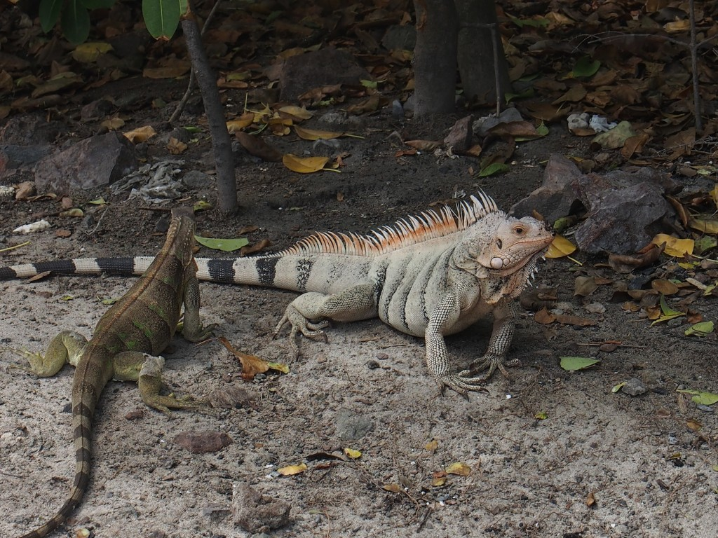 Iguanas ashore at Tobago Cays