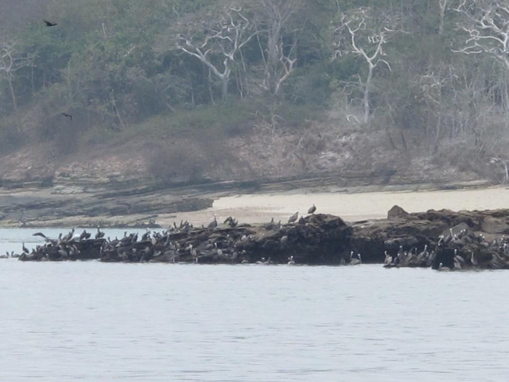 Thousands of seabirds at Las Perlas