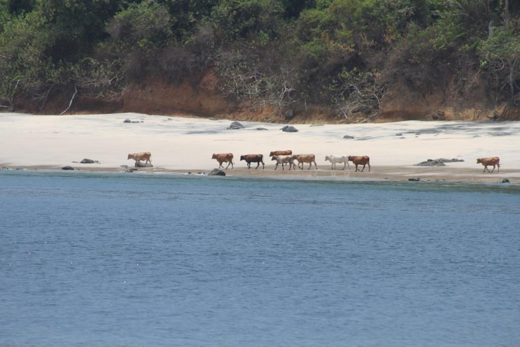 Cows enjoying the beach, Isla San Jose