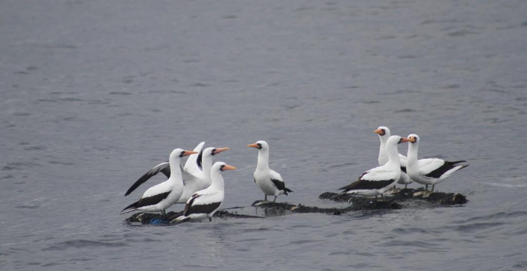 I think we stumbled upon the Inaugural Ecuadorian Albatross Association AGM