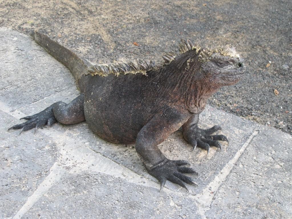 Big Daddy Iguana