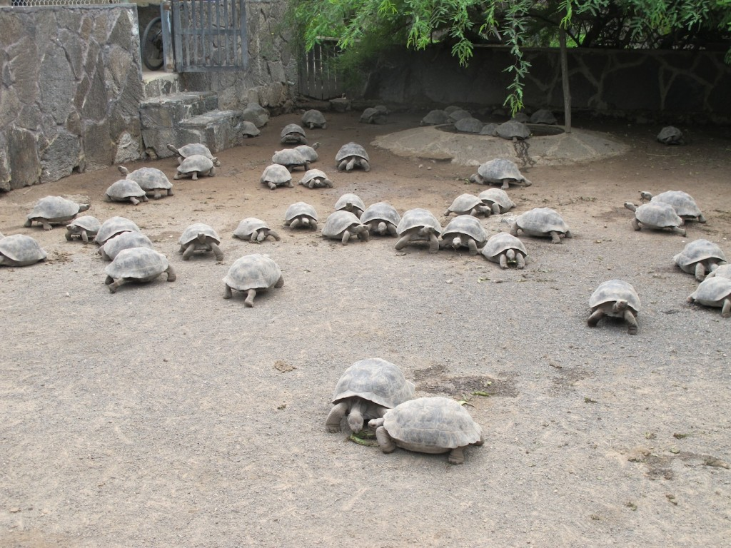 juvenile tortoises waiting to grow enough to be sent into the wild