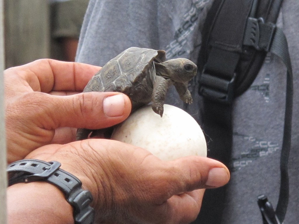 A two-week old hatchling