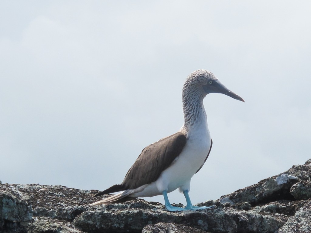 Blue-footed booby, Los Tuneles