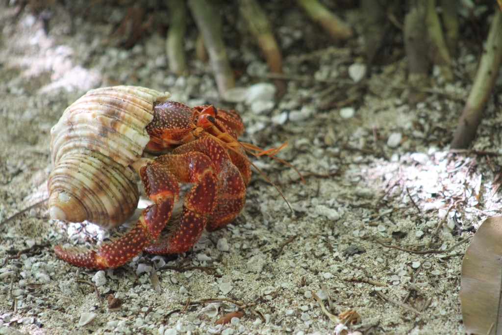 One of thousands of hermit crabs on the beach, Tahanea