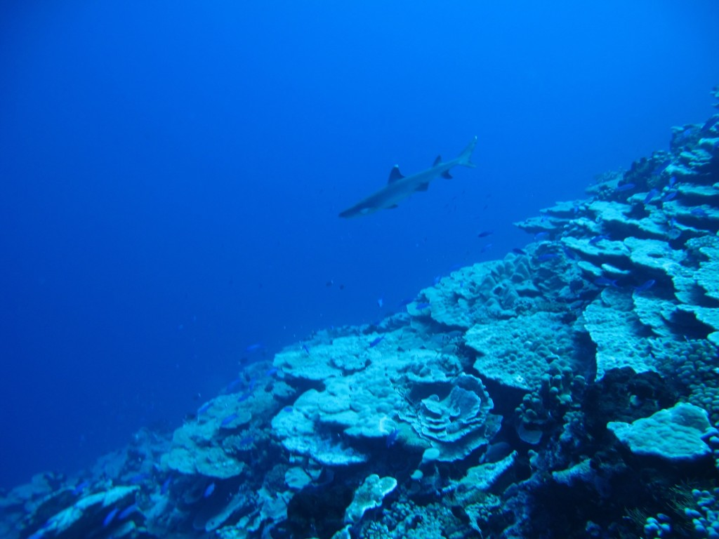 one of the many reef sharks on the wall