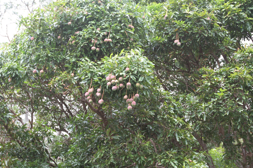 ripe mangoes, just out of reach!