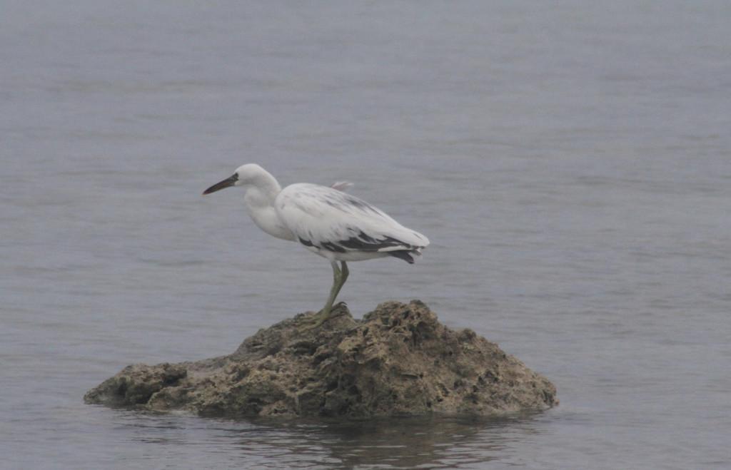 Local birdlife on the reef