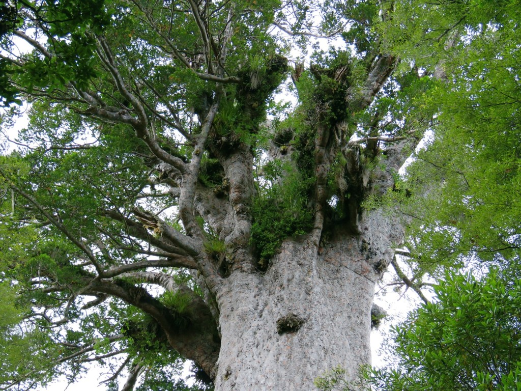 The canopy of Tane Mahuta