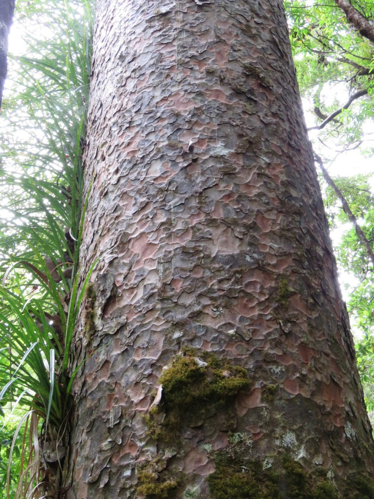 the distinctive bark of the Kauri, like beaten copper