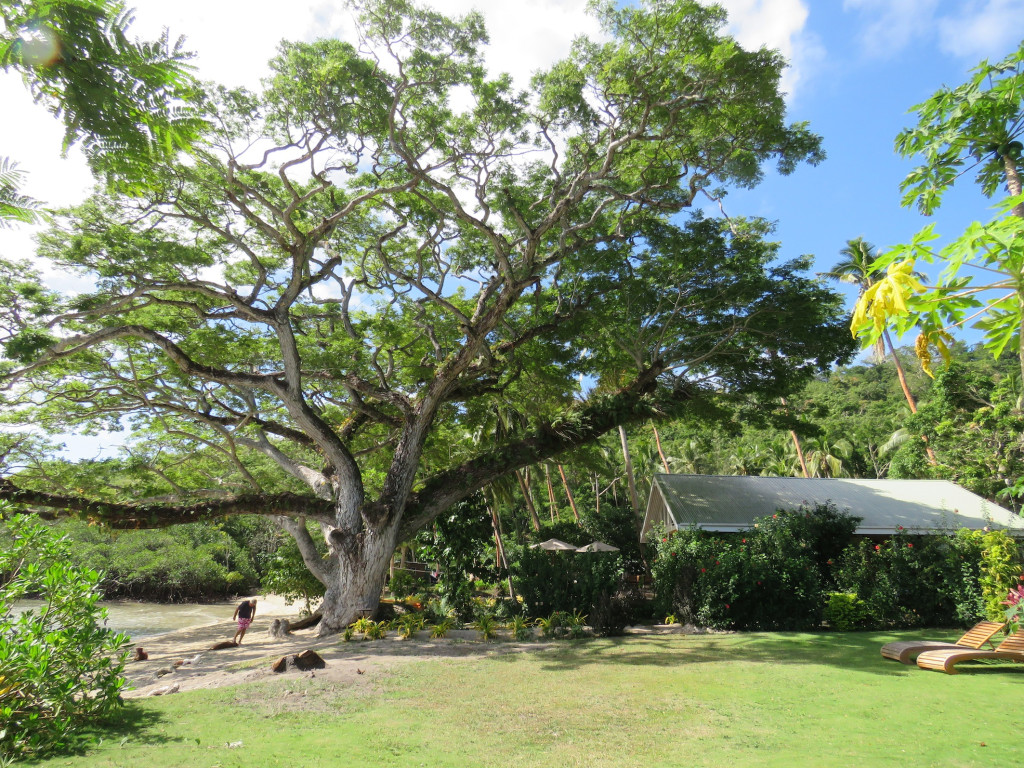 The magnificent rain tree was spared by Winston, not so lucky the neighbouring mango tree