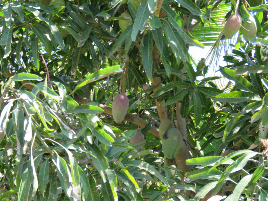mangoes ready for picking