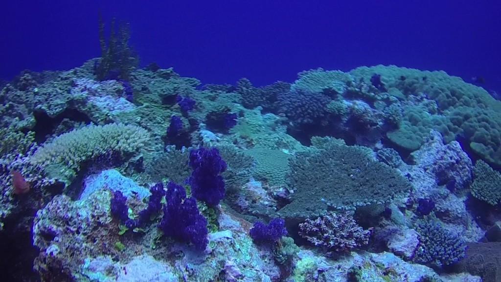 beautiful purple soft coral